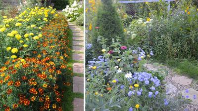 Оформление дорожки в сельском саду. Слева бархатцы разных сортов, справа агератумы, циннии, календулы и другие. Фото автора