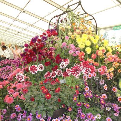 На цветочной выставке в Хэмптон-корт, Лондон. Разнообразие форм и окраски георгин не перестает удивлять. Фото автора