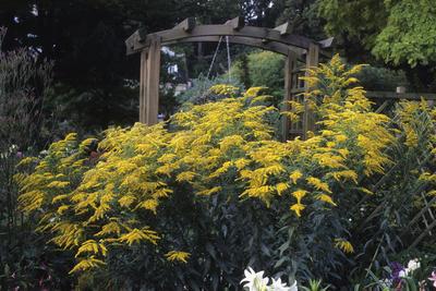 Золотарник (солидаго) быстро становится сорняком