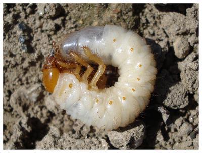 Личинка майского жука. Фото с сайта http://dachanaladoni.ru/spravochnik-tsvetovoda/vrediteli/borba-s-lichinkami-majskogo-zhuka-na-dache.html