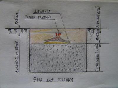 Перед посадкой нижний (питающий) слой уплотняется, затем укладывается делёнка так, чтобы почки возобновления располагались на 3-5 см ниже уровня земли и яма заполняется верхним (укрывающим) слоем
