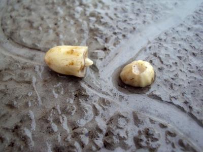 Орех только в начальной стадии