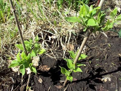 Черенки жасмина весной