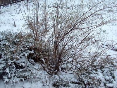 Зимует тамарикс без укрытия
