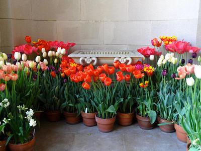 Разнообразные тюльпаны в горшках