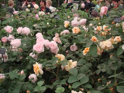 Английские розы придают саду налет старинности. Фото автора