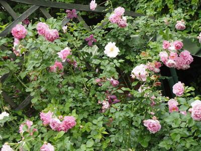 Душистая роза Jasmina как нельзя лучше подходит  для уголка отдыха в саду. Фото автора