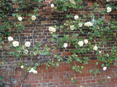 Вьющаяся роза как украшение стены