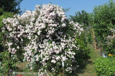Пышное цветение рамблера - великолепное зрелище
