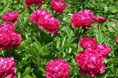 Felix Crousse цветет обильно, все цветки распускаются дружно и долго не опадают. Фото автора