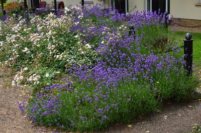 Классическое сочетание роз и синей лаванды. Фото автора