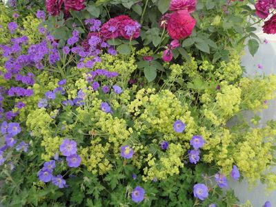 Излюбленное сочетание герани и манжетки в английских садах. Фото автора