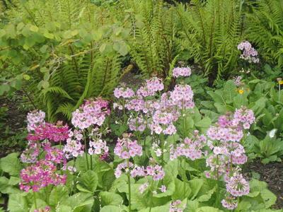 Примулы растения для полутени. Фото автора