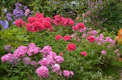 В любом российском саду вы встретите этот замечательный цветок. Фото автора