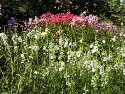 Нежные цветки физостегии хорошо использовать в букетах. Фото автора