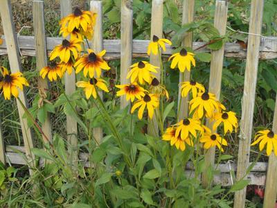 Рудбекия у нас часто растет как сорняк — настолько неприхотлива. Фото автора