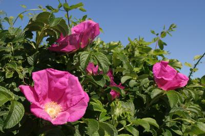 Своей выносливостью канадские розы обязаны р. морщинистой и р. арканзасской