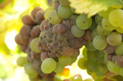 Серая гниль на винограде (Фото с сайта mtdata.ru)