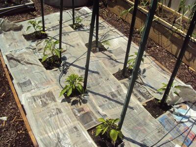 Некоторые дачники мульчируют грядки газетами (Фото с сайта glenns-garden.com)