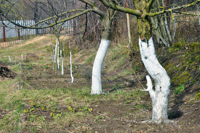 Побелка садовых деревьев защищает штамбы от солнечных ожогов и трещин