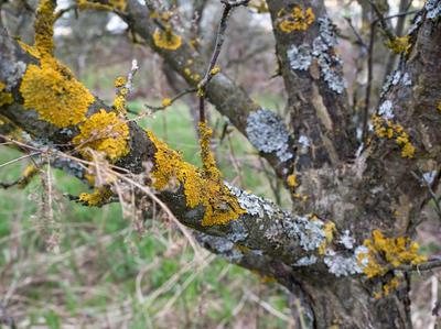 Стволы взрослых деревьев перед побелкой следует освободить от старой коры, под которой зимуют вредители, и очистить от лишайников