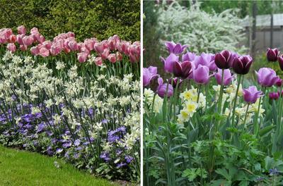 Слева: тюльпан Ollioules (Дарвинов гибрид). Справа: тюльпаны Триумф Jackpot и Blue Beauty