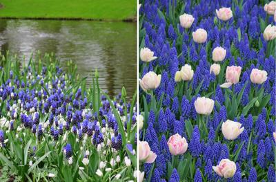 Из мускари можно создать яркие голубые волны: м. широколистный и м. гроздевидный Album (слева); мускари армянский и ранние махровые тюльпаны (справа)