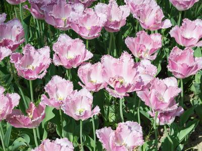 Бахромчатые тюльпаны имеют игольчатые выросты по краям лепестков