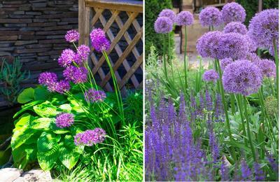Декоративные луки украшают сад с середины июня