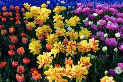 Попугайные и Бахромчатые тюльпаны имеют очень оригинальный облик. Их лучше размещать на самом видном месте цветника