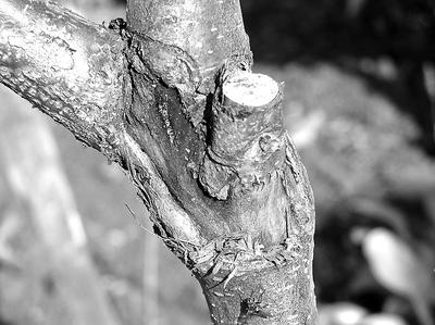 Рисунок 7. Рана вокруг оставленного пенька
