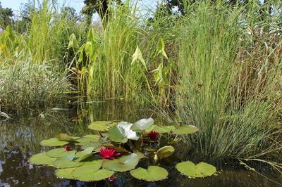 Нимфея - королева пруда. Ее высаживают на самой большой глубине