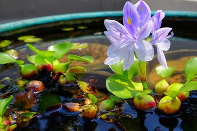 Эйхорния (водяной гиацинт) - одной из самых эффектных плавающих растений