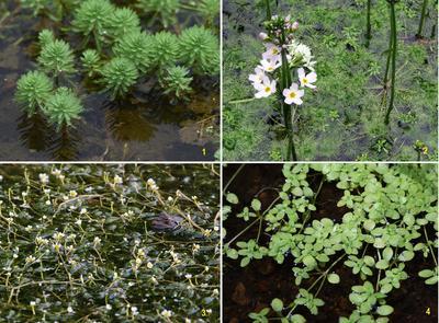 Уруть водная (1), турча болотная (2), лютик водяной (3), болотник прудовой (4)