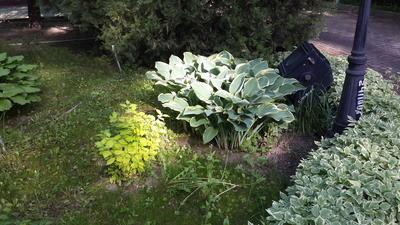 Хоста c крупными листьями