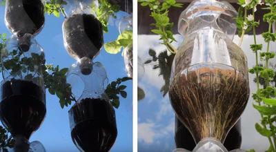 Растения укоренились, через прозрачный пластик хорошо видны корни. Фото автора