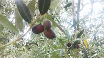 Какие плоды маслины европейской лучше для засолки - зеленые или черные? ответы экспертов