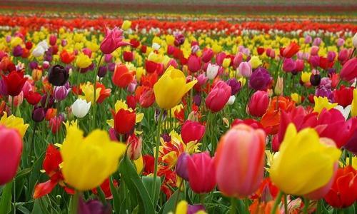 Тюльпан Мелроуз описание и выращивание сорта