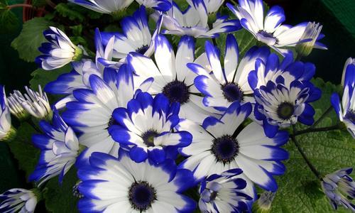 Растение комнатная цинерария цветущая: выращивание из семян, фото