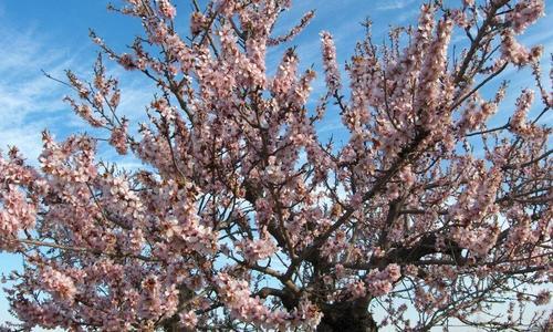 Дерево миндаля: посадка и уход, выращивание в открытом грунте