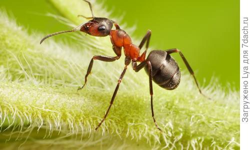Лесные муравьи на даче