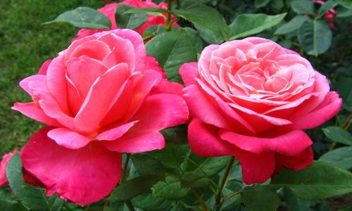 Двухцветные розы: 8 самых красивых сортов