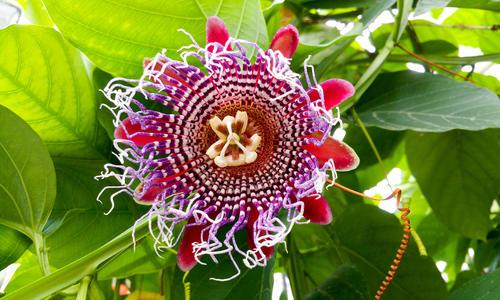 Цветок пассифлора или страстоцвет, его полезные свойства и противопоказания, уход необходимый в домашних условиях