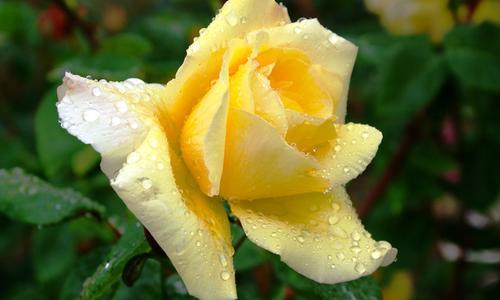 Сорт розы оранжевого цвета