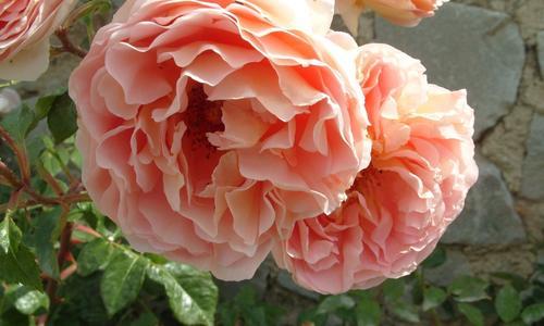 Розы: 15 лучших романтических сортов