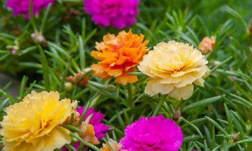 Портулак огородный фото, посадка и уход, выращивание из семян