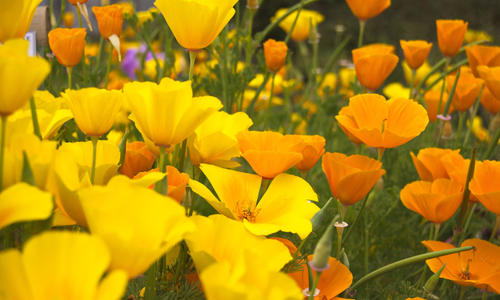 Выращивание эшшольции - цветок для ленивых