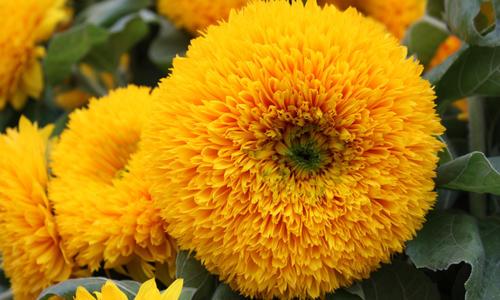 Как называется желтый цветок похожий на подсолнух. Особенности выращивания декоративного подсолнуха