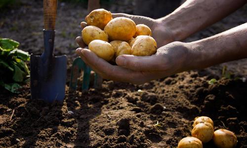 Какого размера должна быть семенная картошка