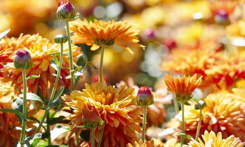 Размножение хризантемы осенью метод черенкования